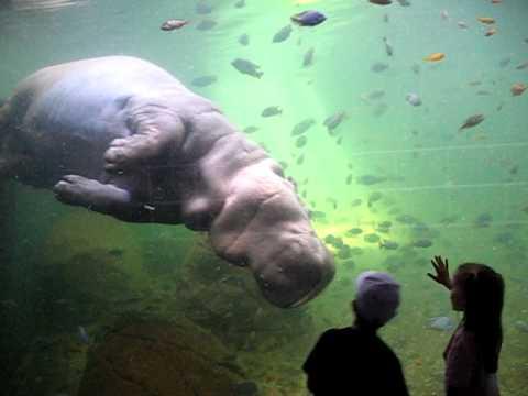 hippo swim